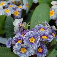 Примула «Zebra Blue». Крупные цветки примулы имеют желтую серединку, привлекательную раскраску кремового цвета, пронизанную множеством жилок сине-фиолетового цвета. Во время цветения в мае примула дарит множество соцветий, источающих приятный аромат. ���������������������������������� • Подпишись �� @kanteevanatasha ✔ • Ставь like ❤ • Делись своим мнением �� ���������������������������������� #flowers #flower #InstaTags4Likes #petal #petals #nature #beautiful #love #pretty #plants #blossom…