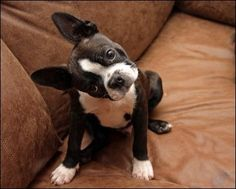 """Whaaaaad ya sayin'??"" -  Does your Boston do this, too??  [Vega the Boston Terrier]"
