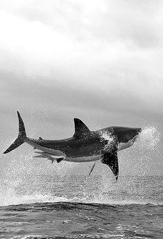 Shark swoop...  #blackandwhite #photography