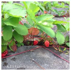 Little wild strawberries growing in the cracks of a stone patio.