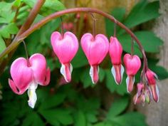 Sacramento Landscaping: Recommended Shade Plants Bleeding Heart Capital Landscape recommended plants for Sacramento's zone Pretty Flowers, Bleeding Heart, Planting Flowers, Plants, Cool Plants, Perennials, Bleeding Heart Plant, Rose Petals, Shade Plants