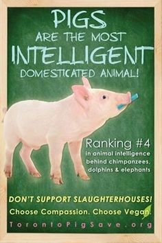 #pigs #animalrights