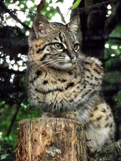 Geoffrey's Cat is a wild cat in the southern and central regions of South America. It is about the size of a domestic cat.