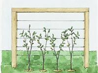 How to Build a Living Fence...espallier for fruit trees