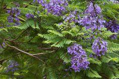 Τα πανέμορφα μωβ δέντρα που στολίζουν έναν από τους ομορφότερους πεζόδρομους στο κέντρο της Αθήνας Herbs, Colors, Plants, Herb, Colour, Plant, Color, Planets, Paint Colors