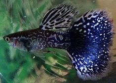 Guppies are a very easy-to-breed fish species. They also adapt quickly to their environment and this is what makes them perfect for beginner aquarists. Here is Different Types of Guppies In The World Tropical Fish Aquarium, Tropical Fish Tanks, Freshwater Aquarium Fish, Aquarium Fish Tank, Big Aquarium, Fish Breeding, Beautiful Fish, Beautiful Pictures, Cool Fish