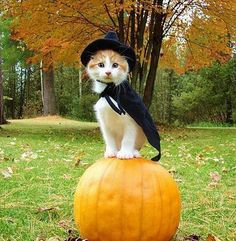 13 Halloween Kitties That Will Complete You. and give you some great ideas for the perfect Halloween cat costumes for your own little friend. Costume Chat, Pet Costumes, Kitten Costumes, Costume Ideas, Chat Halloween, Costume Halloween, Halloween Festival, Festival Party, Fall Halloween