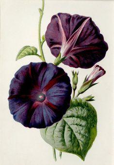 Vintage Botanical Prints, Botanical Drawings, Botanical Illustration, Illustration Art, Botanical Flowers, Botanical Art, Flower Prints, Flower Art, Illustration Botanique