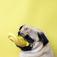 Norm the Pug has posed for a photo every day of his life. http://instagram.com/jermzlee