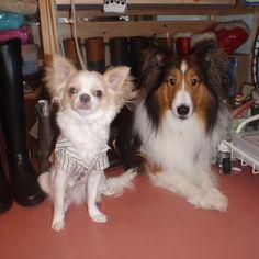 おはようございます。 懐かし写真見〜つけた❣️ この頃はガウガウしなかったんだよね(笑)🐶 #わんこ #愛犬 #犬 #いぬ #チワワ #チワワ部 #ロンチー #シェットランドシープドッグ #シェルティ #シェルティー #chihuahua #chihuahualove #sheltie #shetlandsheepdog #dog #dogstagram #pet #petstagram #かわいい