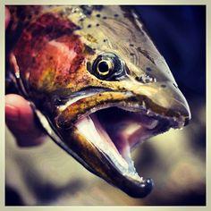 #Trout