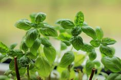 7 tips for growing mad giant basil plants. 4. Fertilize the soil about once a month if you're growing it indoors. Organic or slow-release fertilizers (like compost tea) are best for basil. Just don't fertilize it below 60°F/16°C.