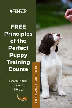 Our complimentary puppy training course will help you train a perfect puppy! In this course, we'll break down and cover the important principles of dog socialization, manners, and obedience. Enroll today and train your puppy to become a perfect companion. From Fenrir Canine Leaders. Puppy Training Tips, Crate Training, Training Your Dog, Spaniel Breeds, Spaniel Dog, Springer Spaniel, Best Dog Breeds, Best Dogs, Socializing Dogs