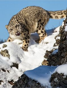 Snow leopards are superbly adapted to their habitat! • They have enlarged nasal cavities to warm chilly mountain air before it reaches the lungs. • The pelage (fur) is smoky grey with dark rosettes and spots – ideal camouflage among rocks and scree...