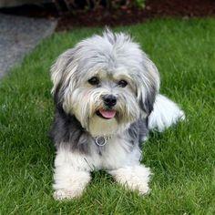 havanese | havanese dog,havanese dog rescue,dara luz havanese kennel,toy havanese ...