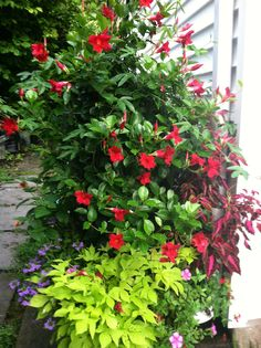 Cherry red mandevilla is the star here
