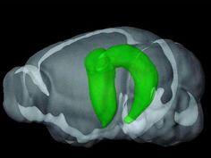 Descubren que el hipocampo es el 'corazón' del cerebro