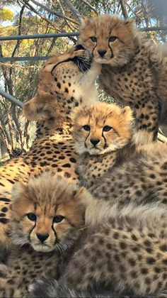 Cheetah Cubs Fluff It Up at Monarto Zoo Small Wild Cats, Big Cats, Cool Cats, Cats And Kittens, Nature Animals, Animals And Pets, Strange Animals, Animals Images, Wild Animals