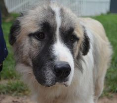 Arnold Great Pyrenees Mix & Anatolian Shepherd • Young • Male • Extra Large Capital Area Rescue Effort Sandston, VA
