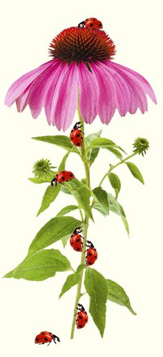 10 Plants that Attract Ladybugs and Other Beneficial Insects / Armstrong Garden Centers