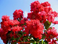 Full size picture of Crepe Myrtle, Crape Myrtle 'Dynamite' (Lagerstroemia indica)