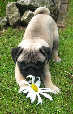 Daisy pug