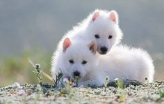 White Wolf Cubs. We have already killed all the US wolves once, why do it again?