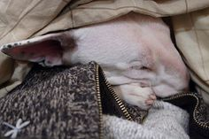 It's a hard life being a bull terrier. | por Spud the Bull Terrier