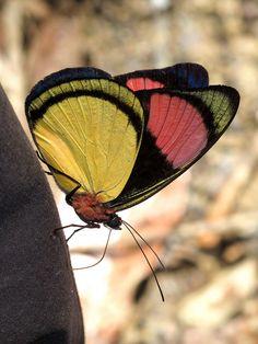 Batesia hypochlora butterfly by Andrew Neild, UK~~
