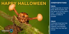 What's that sticking out of the insect's head? A Cordyceps fungus — and it's incredible!