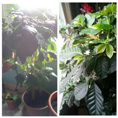 This is my coffee tree and the beans are on the way.