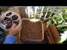 Como plantar Inhame através das Cascas - YouTube