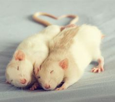 These cute rats cuddle with anything, from teddy bears to mittens. Who knew these critters could be so darn cute!?!