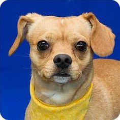 Westland, MI - Chihuahua/Pug Mix. Meet Chorizo, a dog for adoption. http://www.adoptapet.com/pet/11860330-westland-michigan-chihuahua-mix