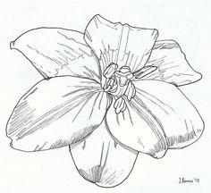 Lily 1 by Jamie Barnes, via Flickr  #art #drawing #flowers