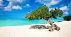 Aruba's famous Divi tree on Eagle Beach.
