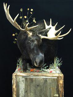 1000 Images About Moose Mounts On Pinterest Moose