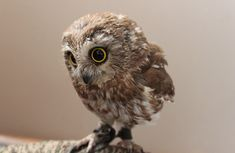 cute baby owl photo