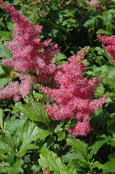Click to view full-size photo of Younique Cerise Astilbe (Astilbe 'Verscerise') at Gertens