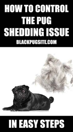 Why do Pugs shed so much? I've shared tips on how to stop the Pug shedding p… Why do Pugs shed so much? I've shared tips on how to stop the Pug shedding problem and what… Black Pug Puppies, English Bulldog Puppies, English Bulldogs, French Bulldogs, Mini Bulldog, Baby Pugs, Baby Puppies, Corgi Puppies, Pets