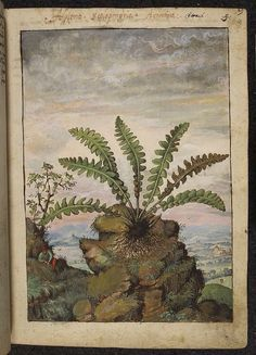 Asplenium scolopendrium, from De Materia Medica, a work on herbal medicine by Pedanius Dioscorides, 16th century edition. It depicts a wide range of plants against a backdrop of landscapes, often featuring populated scenes. Watercolour