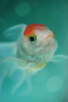 金魚ちゃん♪♪♪ |Goldfish