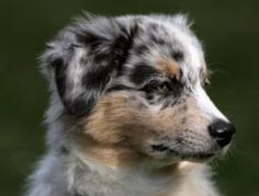 Google Image Result for http://www.cutepuppiesforsale.net/wp-content/uploads/2011/06/miniature-australian-shepherd-puppy-dog.jpg