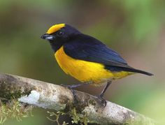 The Orange-bellied Euphonia (Euphonia xanthogaster) is a species of bird in the Fringillidae (finch) family. They were formerly considered tanagers (Thraupidae). It is found in Bolivia, Brazil, Colombia, Ecuador, Guyana, Panama, Peru, and Venezuela.