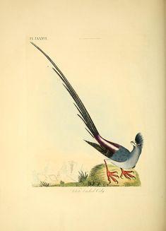 A general history of birds (1821)    Author: Latham, John, 1740-1837; Latham, John, 1740-1837. General synopsis of birds; Latham, John, 1740-1837.
