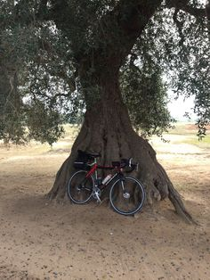 The old olive tree and the bike. Apulia, the land of Trulli. Italian VeloTours.