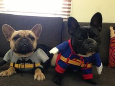 French Bulldogs in Batman and Superman Costumes, too Cute.
