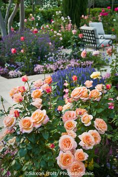 Peach colored Floribunda Rose 'Tuscan Sun' flowering shrub in patio garden in California country garden