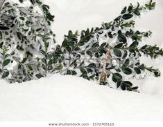 Find Green Bush Branches Snow stock images in HD and millions of other royalty-free stock photos, illustrations and vectors in the Shutterstock collection. Thousands of new, high-quality pictures added every day. Branches, Vectors, Photo Editing, Royalty Free Stock Photos, Snow, Illustrations, Pictures, Green, Photography