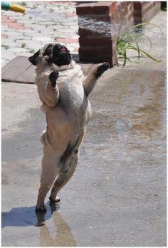 Emergency Pugs on